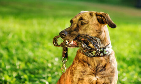 Dog Training - Leash Training